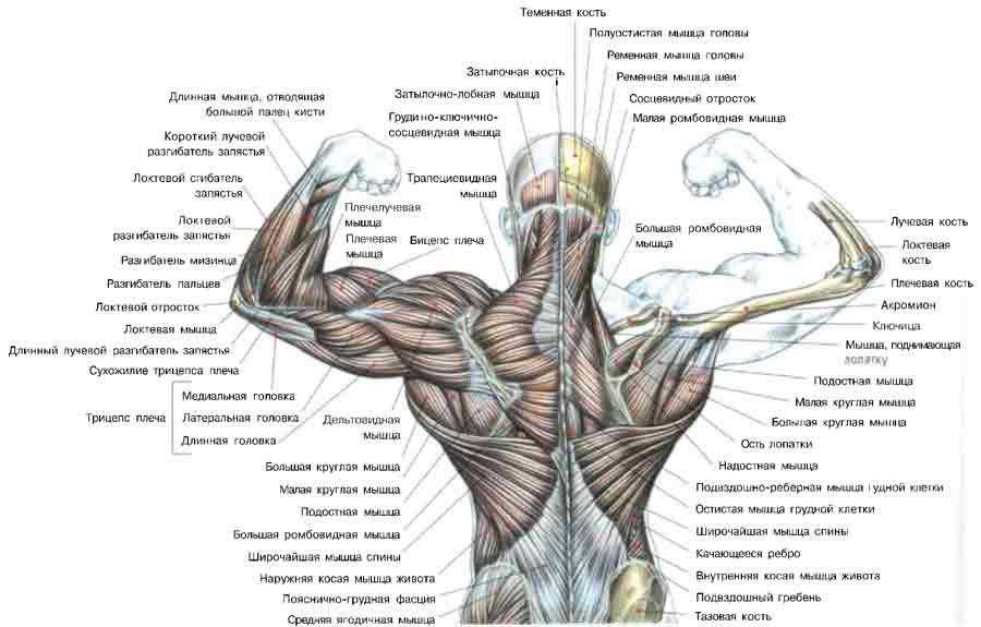Спинные мышцы